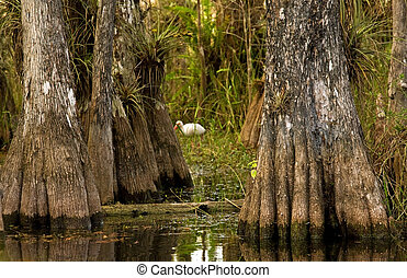 Ibis and Cypress Trees in Everglades, Florida - A wading...