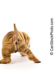 Sharpei puppy from behind isolated on white background