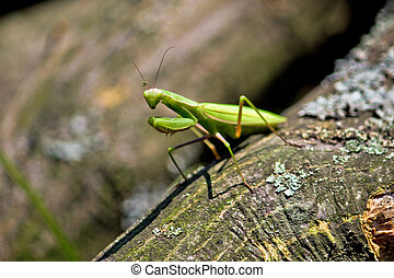 Praying Mantis in natural environment - Green Praying Mantis...