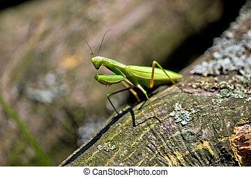Praying Mantis in natural environment - Green Praying Mantis...