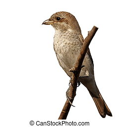 Red backed Shrike isolated on white, Lanius collurio