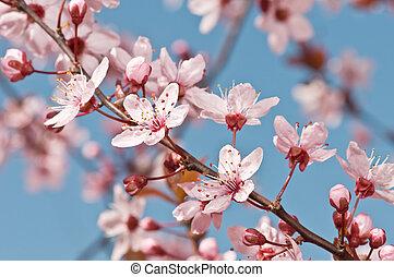 fruit tree flower - fruit tree blossom in spring