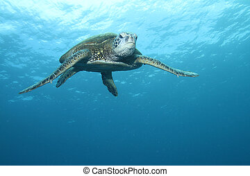 Hawaiian Green Sea Turtle - Green Sea Turtle gliding through...