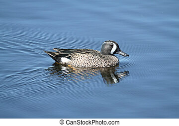 Male Blue-winged Teal (anas discors) swimming in the Florida...
