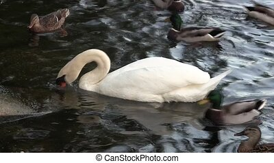 Swan and ducks feeding on a river.