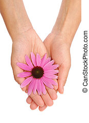 Hand of young woman holding Echinacea flower