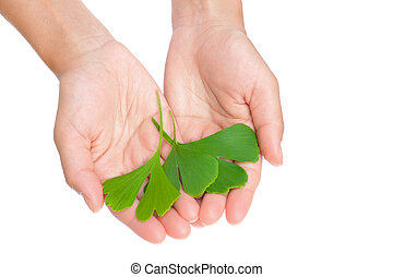 Hands of young woman holding ginkgo leaves