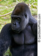 Silverback gorilla - Male silverback gorilla looking at the...