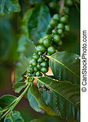 Coffee plant detail - Green coffee beans growing on the...