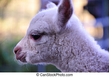 Sweetness in Pure White - Sweet Soft Pure White Baby Alpaca...