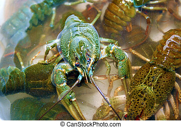 river crayfish - scene river crayfish in water as...