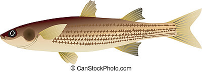 vector image of mullet