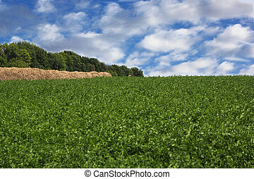 alfalfa crop - a green field of alfalfa with clouds in the...