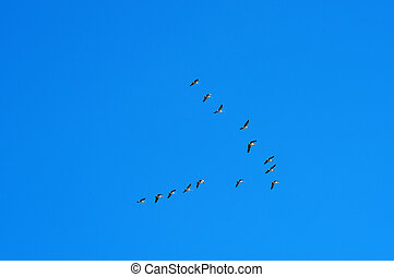 Migratory birds - Birds flying in V-formation