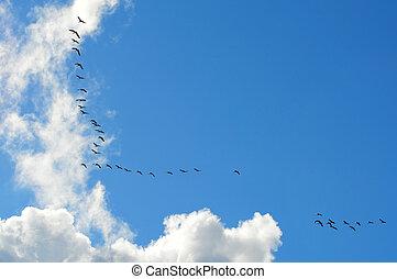 Migratory birds - Birds flying in V-formation
