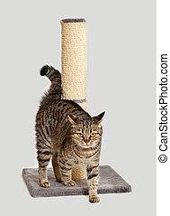 European cat sharpens claws