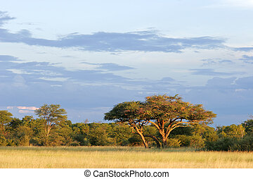 African Acacia tree - African landscape with a beautiful...