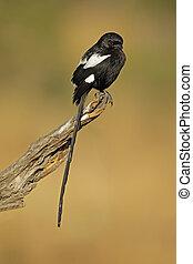 Magpie shrike - A magpie shrike (Urolestes melanoleucus)...