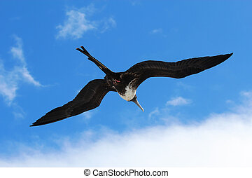 Female magnificent frigatebird soars overhead - A female...