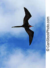 Male magnificent frigatebird soars overhead - A male...