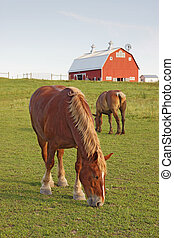 Horses and a barn vertical - Two Belgian draft horses graze...