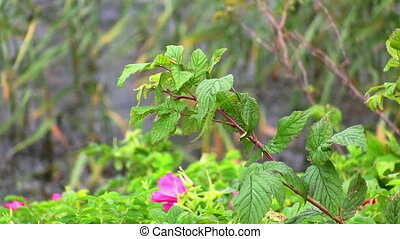 dog-rose in the wind on the water - dog-rose in the wind on...