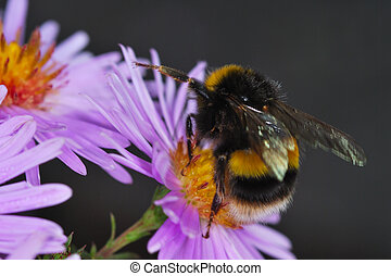 bumble bee collecting pollen on purple flower