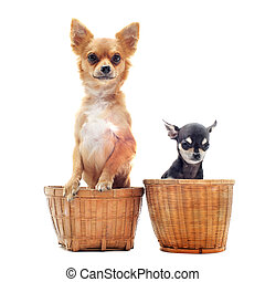 two chihuahuas - portrait of two purebred chihuahuas in...