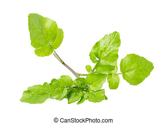 watercress - the leaf vegetable watercress isolated on a...