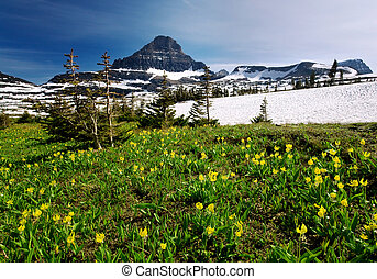 Spring Wildflowers in Glacier National Park - Mountain...