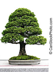Japanese Bonsai at Display - Japanese Evergreen Bonsai at...