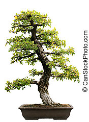 Japanese Evergreen Bonsai at Isolated - Japanese Evergreen...