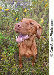 Happy Looking Vizsla Dog with Wild Flowers - A Happy Looking...