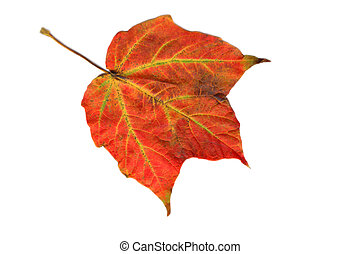 Single Maple Leaf Isolated
