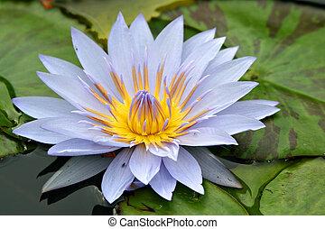 Purple Waterlily Flower