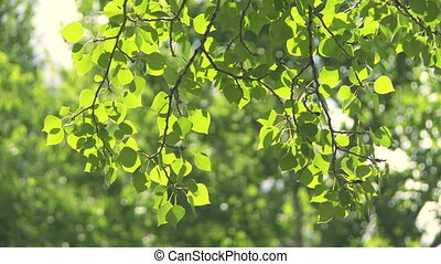 Sun on Aspen Poplar leaves 11 - Sun shining on leaves and...