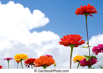 Zinnia flower - Colorful zinnia flower in the sky with cloud