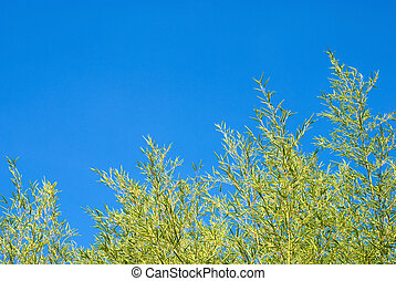 Bamboo thicket - Green bamboo thicket in the blue sky in...