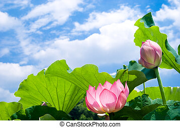 Pink lotus flower and leaf in the sky
