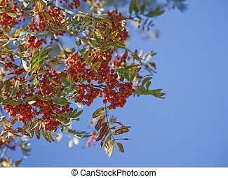 ashberry on the blue sky background