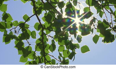 Sun and Aspen Poplars 02 - Sun shining through leaves and...