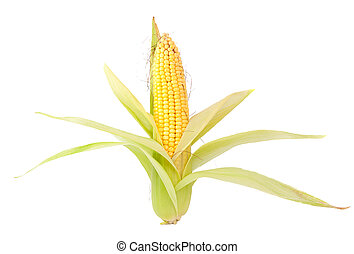 ear of corn on a white background