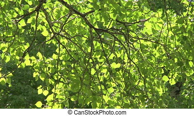 Sun on Aspen Poplar leaves 10 - Sun shining on leaves and...