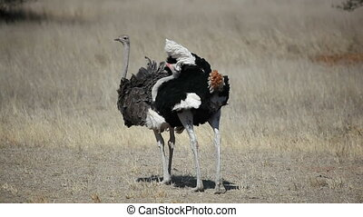 Ostriches - Male and female ostrich (Struthio camelus),...