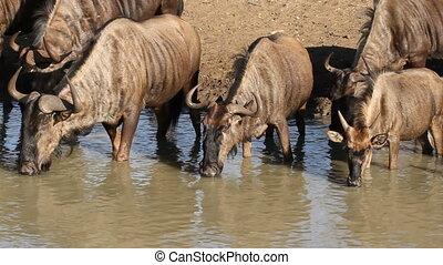 Wildebeest drinking - Blue wildebeest Connochaetes taurinus,...