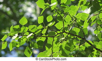 Sun on Aspen Poplar leaves 12 - Sun shining on leaves and...