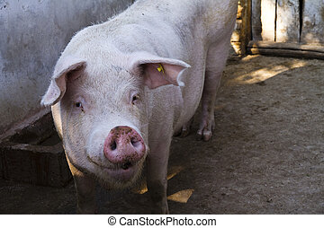 Curious pig - Domestic pig in a pigsty looking curious