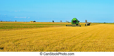 rice harvesting - a combine harvester harvesting a paddy...