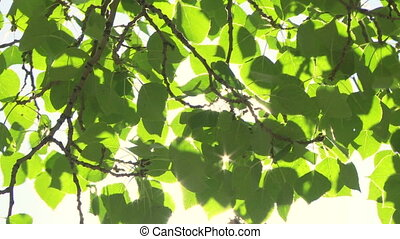 Sun on Aspen Poplar leaves - Sun shining through leaves and...
