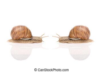 Garden snail - Two Garden snail Helix aspersa